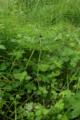 Hoher Vogelsberg Breungeshainer Heide Geiselstein Equisetum palustre.png