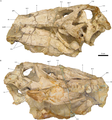 Holotype of Irritator challengeri.PNG