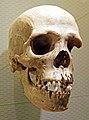 Homo sapiens skull.jpg