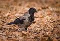 Hooded crow (46592729324).jpg
