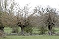 Hornbeam Pollards, Hatfield Forest, Hatfield Broad Oak, Essex.jpg
