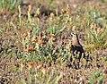 Horned lark on Seedskadee National Wildlife Refuge (34373670483).jpg