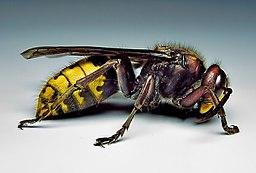 Hornet-vespa