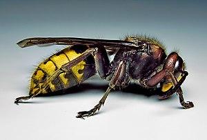 European hornet - A female European hornet