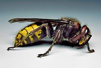 Vespinae - European hornet, Vespa crabro