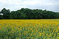 Hornow - Sonnenblumen 0003.jpg