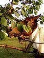 Horse eating tree leaves.jpg