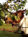 Horse eating tree leaves.jpg