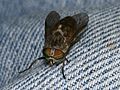 Horsefly v. Denim - Flickr - S. Rae.jpg