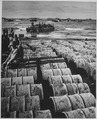 Hundreds of drums of gasoline rolling up on the sands of Luzon from Coast Guard-manned landing craft tell graphically... - NARA - 513216.tif