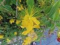 Hypericum garden specimen indefinite stamens IMG 9066.jpg