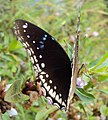 Hypolimnas bolina - Great Eggfly at Thillankeri 07.JPG