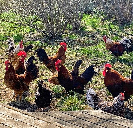 Icelandic Settler Chicken