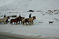 Icelandic horses (3451836193).jpg