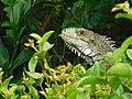 Iguana iguana (Iguanidae).jpg