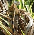 Iguana iguana 12zz.jpg