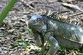 Iguana iguana 20zz.jpg