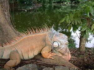 Iguana iguana, Zoo of Puerto Rico