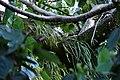 Iguana in a tree (46037820062).jpg