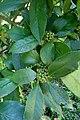 Ilex latifolia kz2.jpg