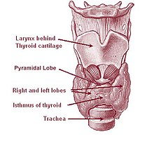 Location of the thyroid gland in the neck