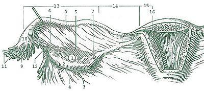 Ampulla of Fallopian tube - Wikipedia