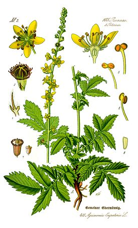 Illustration Agrimonia eupatoria0 clean.jpg