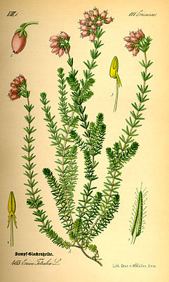 Bell heather (Erica tetralix), illustration