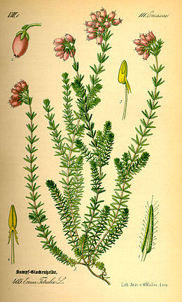 Illustration Erica tetralix0.jpg
