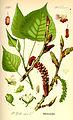 Illustration Populus nigra0.jpg