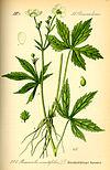 Illustration Ranunculus aconitifolius0