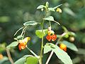 Impatiens capensis SCA-5734.jpg