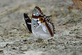 India Purple Emperor inner view of wing.jpg