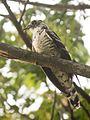 Indian Cuckoo (Cuculus micropterus) (7472697996) (cropped).jpg