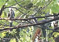 Indian Grey Hornbill (Ocyceros birostris) before combat at Nagpur, Maharashtra. One is seen breaking a stick..jpg