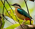 Indian Pitta 2, crop.jpg