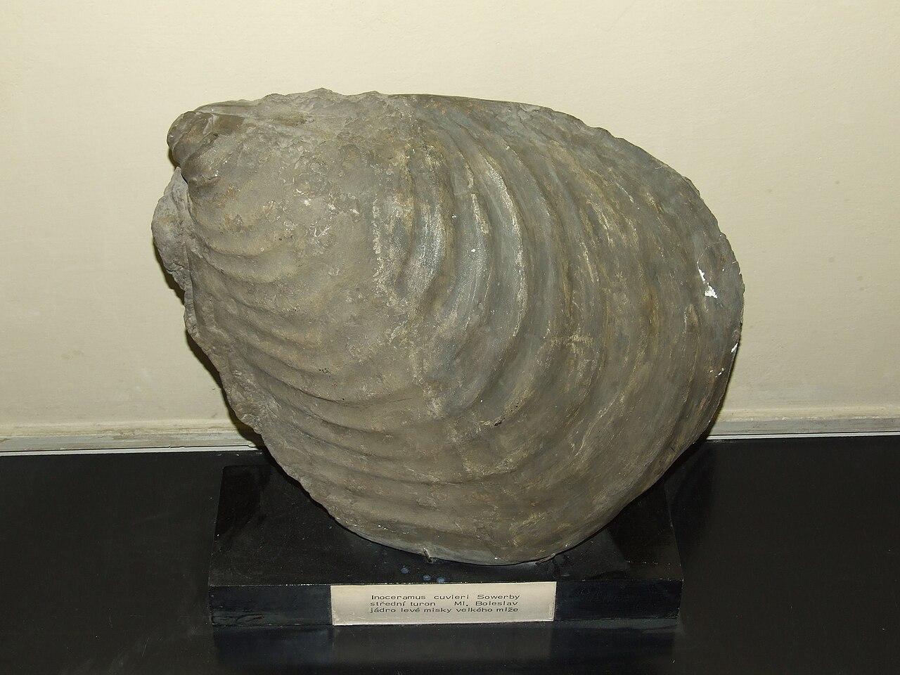 1280px-Inoceramus_cuvieri_Palaeontological_exhibition_Prague.jpg