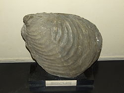 Inoceramus cuvieri Palaeontological exhibition Prague.jpg