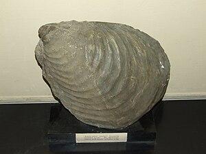 Inoceramus - Image: Inoceramus cuvieri Palaeontological exhibition Prague