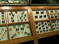 Insects - Kunming Natural History Museum of Zoology - DSC02556.JPG