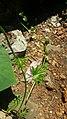 Ipomoea mauritiana 2.jpg