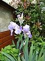 Iris - panoramio (3).jpg