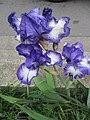 Iris bleu et blanc.jpg