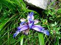 Iris graminea PID1421-1.jpg