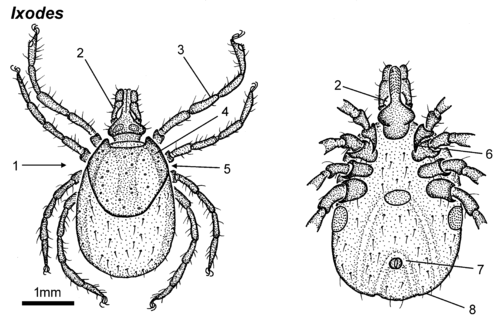 Ixodes-female-dorsal-ventral.png