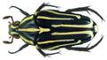 Ixorida (Mecinonota) venerea ssp. venerea (J.Thomson, 1857) (8411434524).png