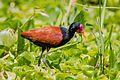 Jaçanã no Pantanal.jpg
