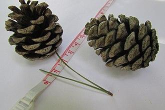 Fire adaptations - Jack Pine cones are serotinous