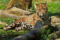 Jaguar 7SC0923WP.jpg