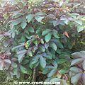 Jamalgota-Croton-Tiglium-Fruits 03.jpg